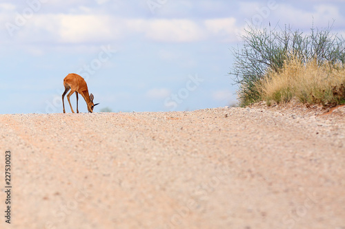 The steenbok (Raphicerus campestris) on the road. Male antelope on the horizon.