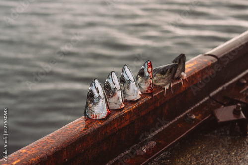 Cutted heads of mackerel and haddock