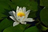 water lily in pond lotus