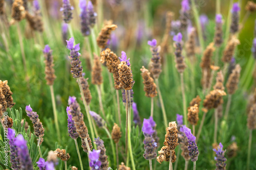 Blossoming lavender