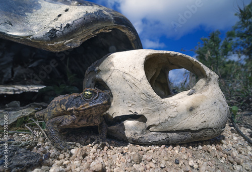 Cane toad (Rhinella marina) and deceased green sea turtle (Chelonia mydas)