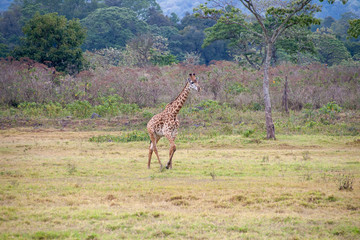 A tall giraffe walks across of savanna. The grass is green and brown. Brush and trees are in the background. This is a horizontal photograph.