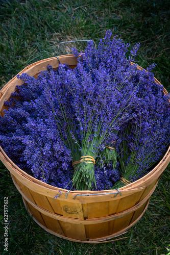 Foto Murales Bundles of freshly harvested lavender flowers in a wooden basket at a lavender farm in southern Oregon.