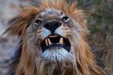 Male Lion puts on a face....