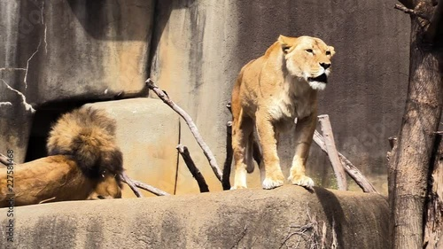 Poster A lioness roaring while standing next to male lion.