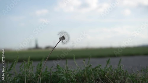 A close-up of a dandelion trembling against a strong wind on an open field.