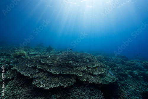 Sunlit Table Corals