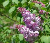 Lilac at Spring - 227592020