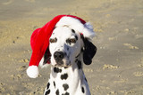 portrait of Dalmatian dog with Santa Claus hat. Merry Christmas