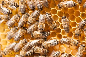 Honey bees working on honey comb