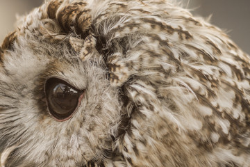 Owl close up. Beautiful wild bird. Brown plumage