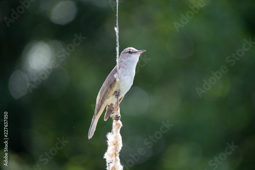 Foto Murales Bird great reed warbler Acrocephalus sits on bulrush, reed or cattail at sunny spring day in Europe