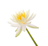 Lotus flower and Lotus flower plants isolated on white