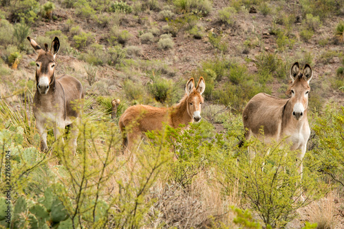 Foto Murales Young Wild Donkey in Big Bend Ranch State Park, Texas