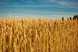 Concept of rich wheat harvest