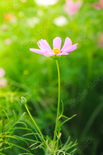 Blur and soft beautiful pink cosmos flowers