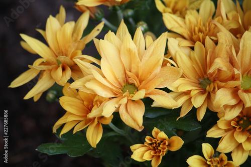 Foto Murales Yellow chrysanthemum closeup