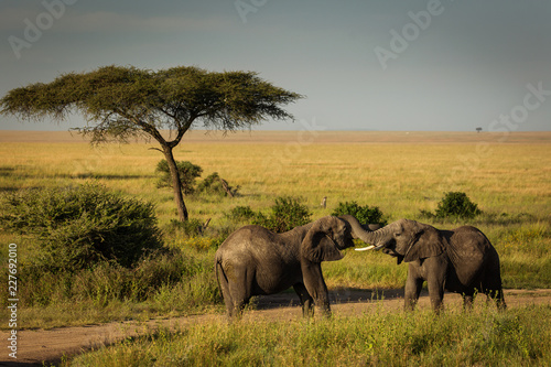 Foto Murales Two elephants playing near some acacia trees in National Park of Serengeti, Tanzania