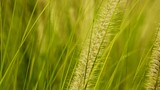 Reed grass gently blowing in breeze, Close Up Pan - 227693034