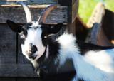 Goat 1 - 227693632