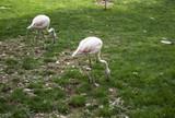 Flamingos in park - 227703090