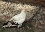 Raptor wild eagle - 227703236
