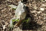 Iguana in park - 227703250