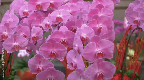 A dolly shot of fresh, pink orchids in Longshan Temple