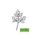 Parsley hand drawn - 227710410