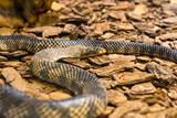Rainbow boa, Epicrates cenchria. Amazing snake.