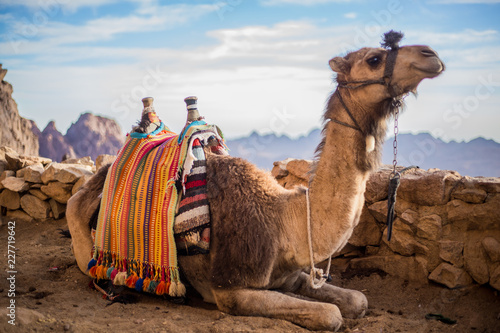 Camel at the Sinai Mountain in Egypt, south sinai.  - 227719642