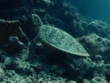 sea ​​turtle in Maldives - 227736268