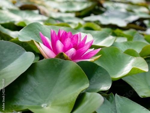 Foto Murales Pink lotus
