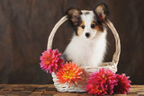 Puppy papilion in white basket with dahlias on dark brown background. Horizontal.