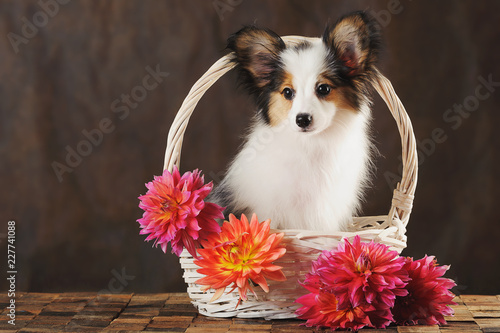 Puppy papilion in white basket with dahlias on dark brown background. Horizontal. - 227741088