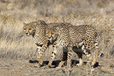 Two big cats walking