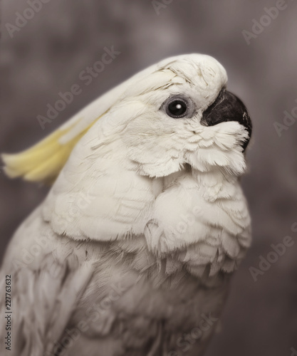 Foto Murales LEMON CRESTED COCKATOO