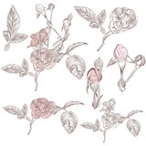 Collection of vector hand drawn roses for design - 227769883