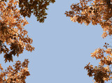 red autumn leaves against a clear blue sky, background with copy space - 227771234