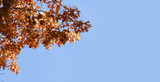 branch with red autumn leaves against a clear blue sky, background with copy space - 227771282