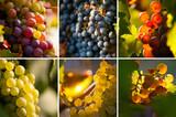 Grappe de raisin et lumière dans les vignes