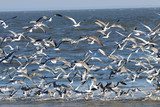 Seagulls and Royal Terns on the beach