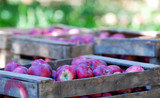 ripe apples in a wood crates,shallow dof