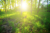 beautiful green summer forest in a rays of sun - 227783487