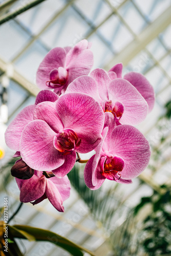 Beautiful Pink Moth Orchid in Botanical Indoor Garden - 227783464