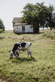Little cow grazing in meadow on summer day - 227786235