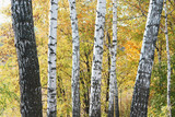 beautiful scene with birches in yellow autumn birch forest in october among other birches in birch grove - 227789254