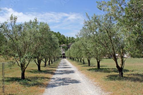 aleja drzew oliwnych