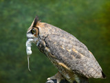 owl and mouse - 227798807