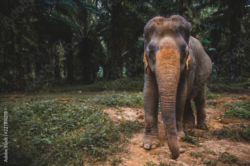 Naklejka Asiatischer Elephant